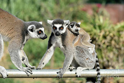 Monkeys Photograph - Ring Tailed Lemurs With Baby by George Atsametakis