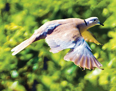 Photograph - Ringed Neck Dove In Flight by William Bitman