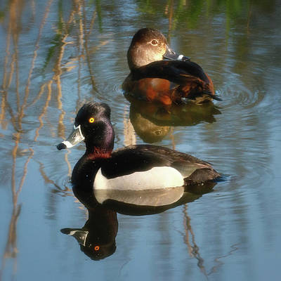 Photograph - Ringed-necked Duck Pair by Craig Strand