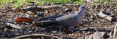 Photograph - Ringed Turtle Dove by Donna Brown