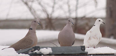 Photograph - Ringneck Dove Trio by Amy Jo Garner