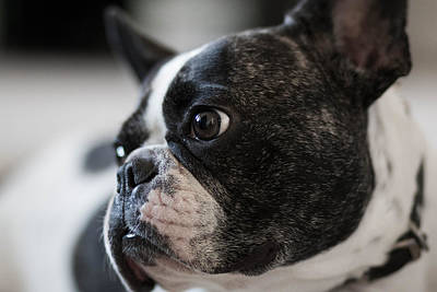 Adorable French Bulldog Puppy Photograph - Ringo's Reflection by Ross Stewart