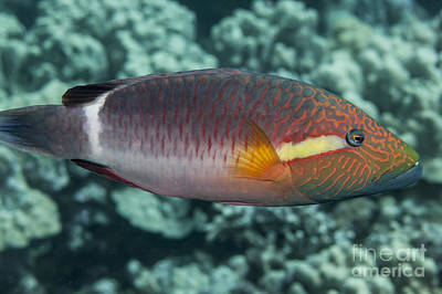 Hawaii State Fish Photograph - Ringtail Wrasse  Oxycheilinus by Thomas Kline
