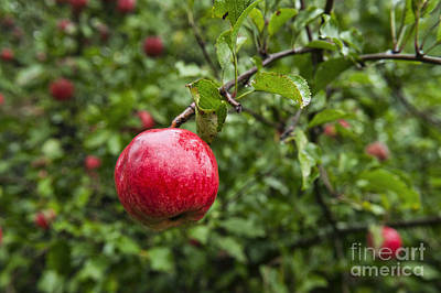 Ripe Apples. Art Print