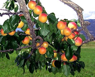 Photograph - Ripe Apricots by Will Borden