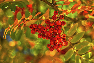 Photograph - Ripe Berries In Autumn - Patagonia by Stuart Litoff