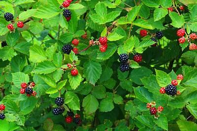 Photograph - Ripe Blackberries by Kathryn Meyer