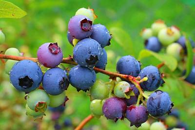 Photograph - Ripe Blueberries by Kathryn Meyer
