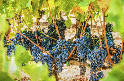 Photograph - Ripe Grapes On Vine by David Letts