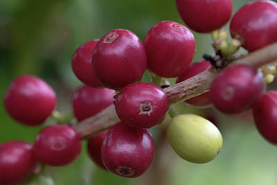 Photograph - Ripe Kona Coffee Cherries by Susan Rissi Tregoning