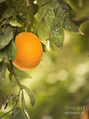 Photograph - Ripe Orange by Juli Scalzi