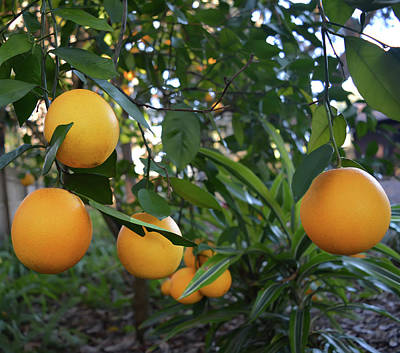 Photograph - Ripe Oranges by Aimee L Maher ALM GALLERY
