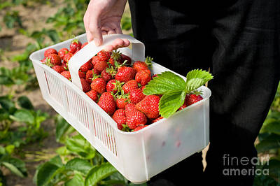 Strawberry Bunch Photograph - Ripe Strawberries In White Plastic Punnet  by Arletta Cwalina