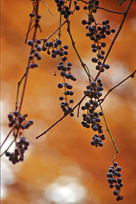 Photograph - Ripe Wild Grapes  by Peter Pauer