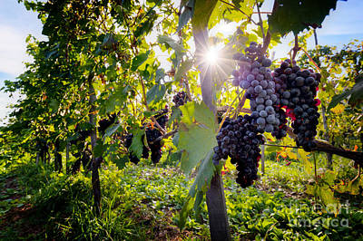 Growth Photograph - Ripe Wine Grapes On Vines In Tuscany, Italy by Michal Bednarek