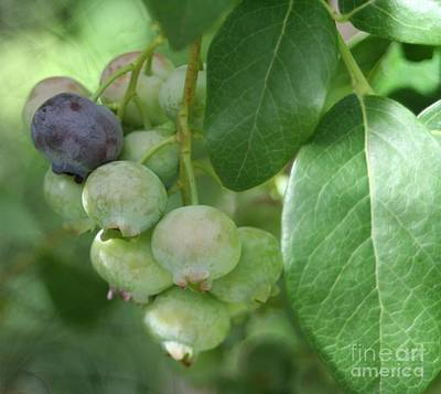 Photograph - Ripening Blueberries by Barbara S Nickerson