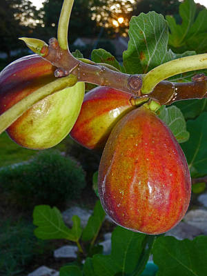 Photograph - Ripening Figs by Margie Avellino