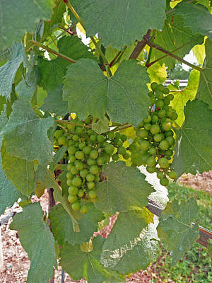Photograph - Ripening Grapes by Margie Avellino