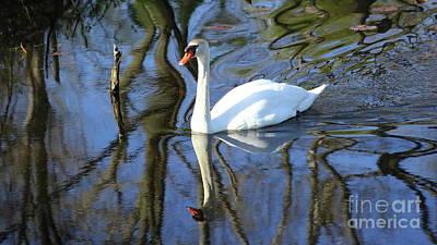 Photograph - Rippled Mute Swan by Erick Schmidt