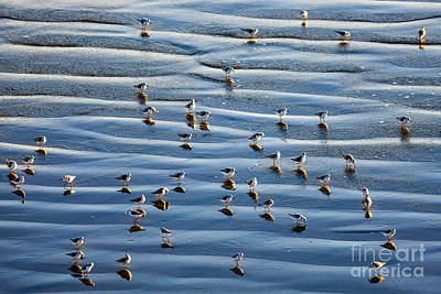 Photograph - Ripples Of Sand Dotted With Plovers by Sharon Foelz