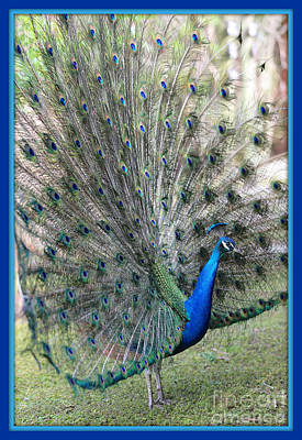 Photograph - Rise And Shine Peacock With Blue And Turquoise Border by Carol Groenen