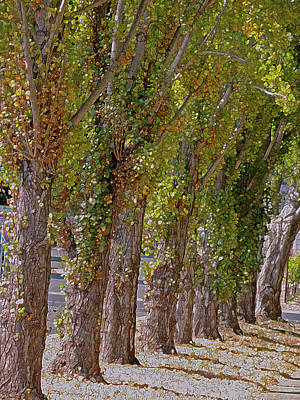 Photograph - Rise Of Trees, Napa Valley by Lynda Lehmann