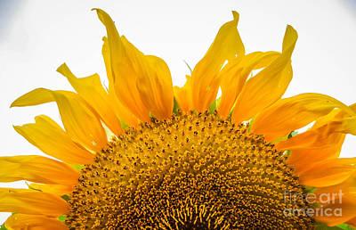 Photograph - Rising Sunflower by Grace Grogan