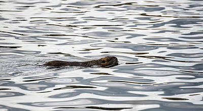 Photograph - River Abstract With Muskrat by Alex Lapidus