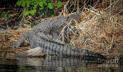 Photograph - River Bank Gator by Tom Claud