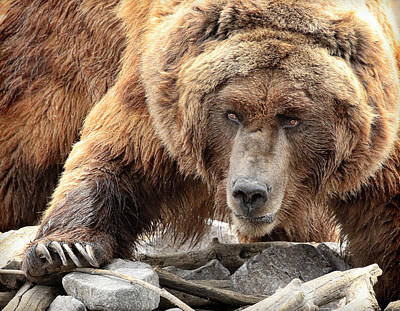 Photograph - River Bed Grizzly by Steve McKinzie