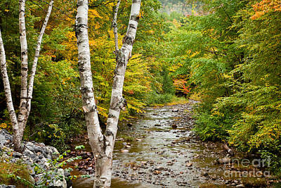 River Birch Art Print