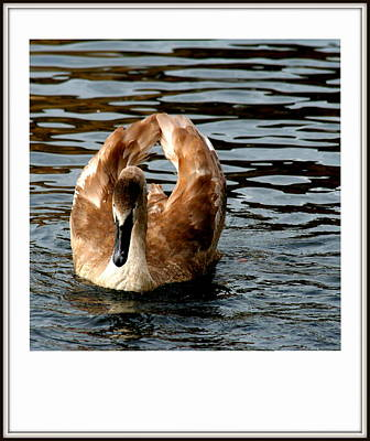 Photograph - River Cygnet by Cruz Selene Ambrosio