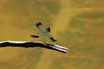 Photograph - River Jewelwing by Debbie Oppermann