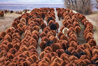 Cattle Drive Photograph - River Of Reds by Todd Klassy