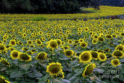 Photograph - River Of Sunflowers by Barbara Bowen