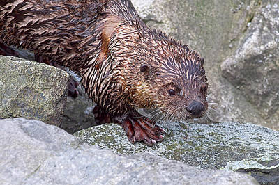 Photograph - River Otter Close-up by Sharon Talson
