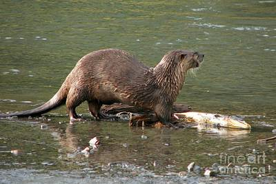 Photograph - River Otter by Frank Townsley