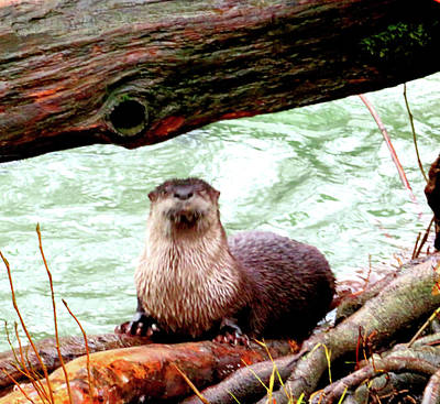 Photograph - River Otter - Wildlife by Marie Jamieson