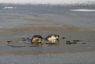 Photograph - River Otters At Fishing Hole by John Burk