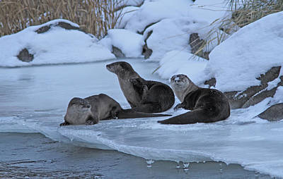 Photograph - River Otters by Gary Wing