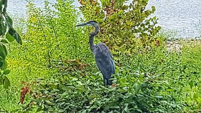 Photograph - River Park Heron by Rachel Hannah