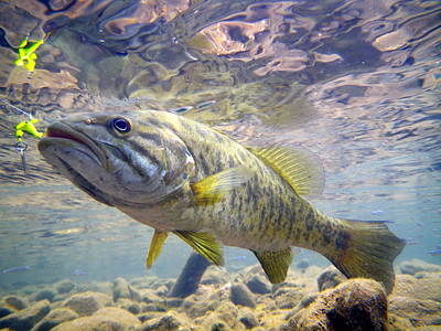 Largemouth Photograph - River Smallmouth by Ron Kruger