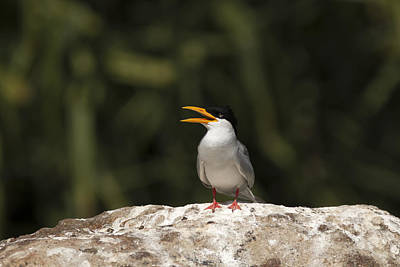 Photograph - River Tern by Ramabhadran Thirupattur