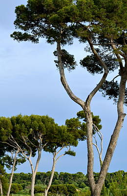 Photograph - Riviera Trees by Corinne Rhode