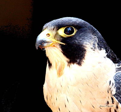 Photograph - Rivoting Stare Of The Peregrine Falcon - A Colorado Paintograph by Christine S Zipps