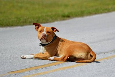 Photograph - Road Guard Dog by rd Erickson