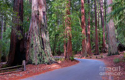 Road Through Redwood Grove Art Print
