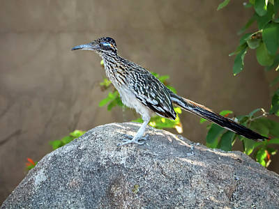 Photograph - Roadrunner 1784 by Tam Ryan