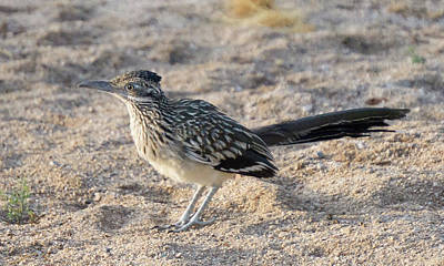 Photograph - Roadrunner by Charlie Alolkoy