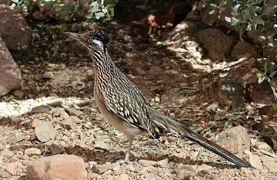 Photograph - Roadrunner by Christy Pooschke